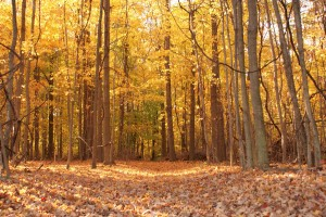 fall_woods_with_vines_by_artsy_frog-d4purt0